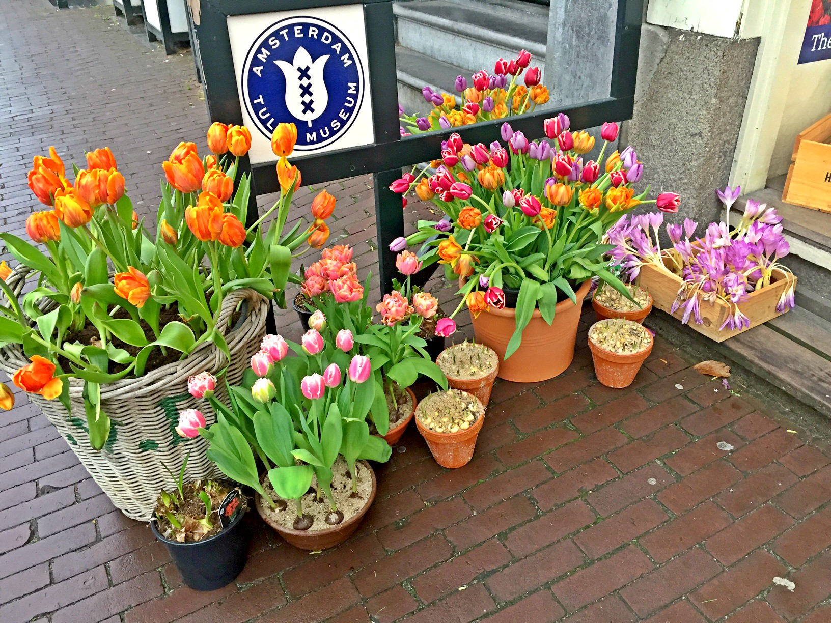 Tulips- symbol of the Netherlands
